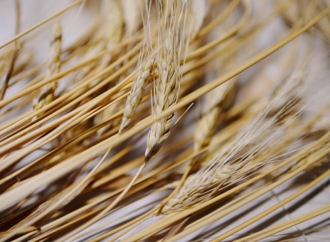 Mérgező gombák tenyésznek a gabonában