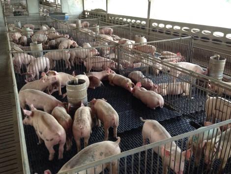 Szabályellenesen tiltotta ki Oroszország az EU-s sertést