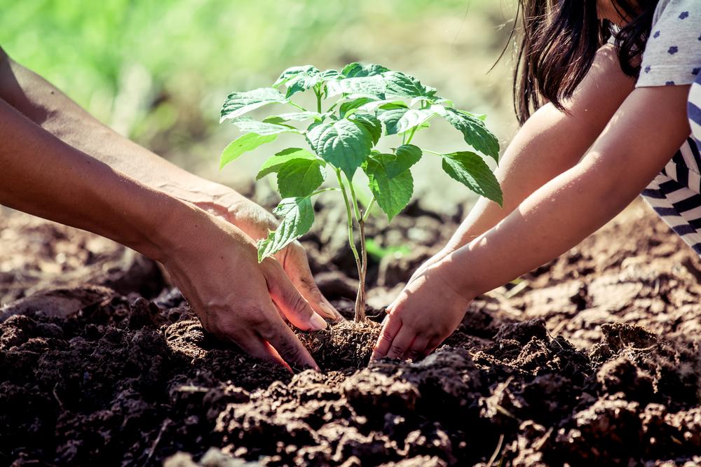 ültetés