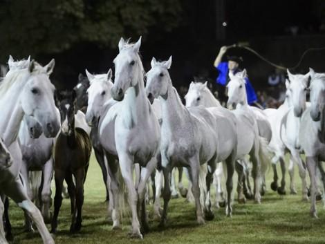 Két ország is sajátjának vallja a lipicai lovat