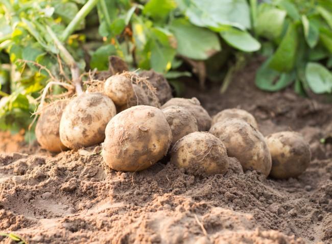 A burgonya védelme, tápanyag-utánpótlása és öntözése kikeléstől a betakarításig