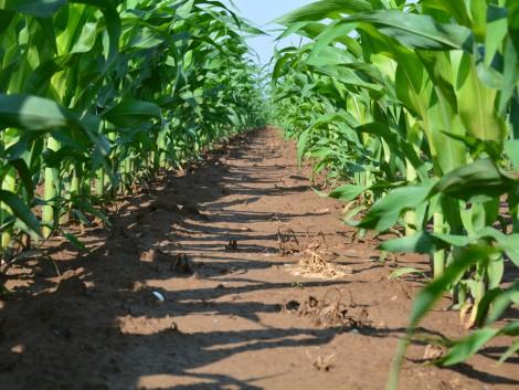 A fenntartható kukorica-gyomirtás