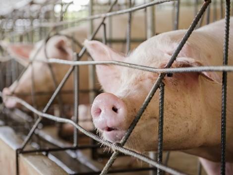 A közös sertésértékesítést ösztönözné az agrártárca