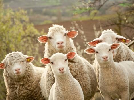 Változik a piac, felértékelődhet a gyapjú