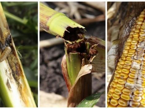 Tudjon meg többet a kukoricamoly kártételéről