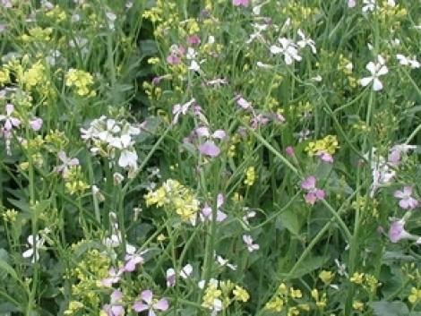 Köztesnövény-keverékek a zöldítésben