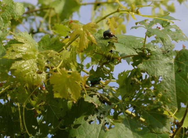 Növényvédelmi előrejelzés: Forró nyár, már júniusban