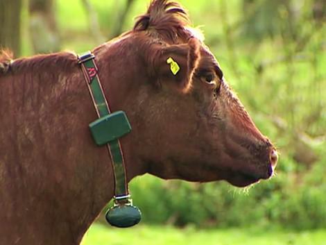 Intelligens kolomppal a tehenek egészségéért