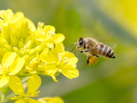 Bizonyítottan növelhető a termésátlag a beporzók védelmével