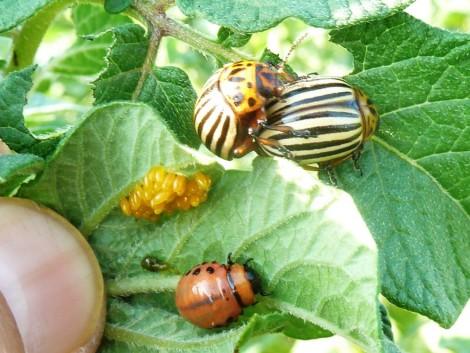 Két jól ismert kártevő károsít a kertekben