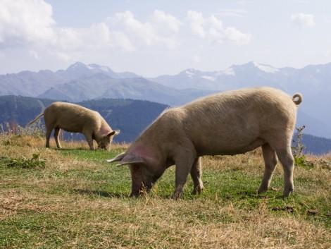 A sertéstartás visszakerülhet a legelőkre