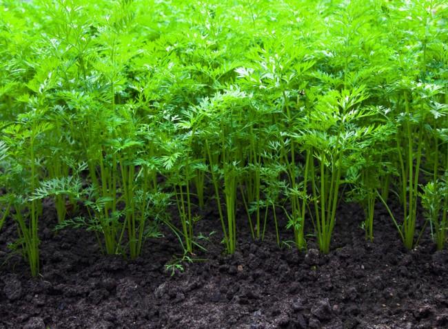 Javaslatok a gyökérzöldségfélék trágyázásához