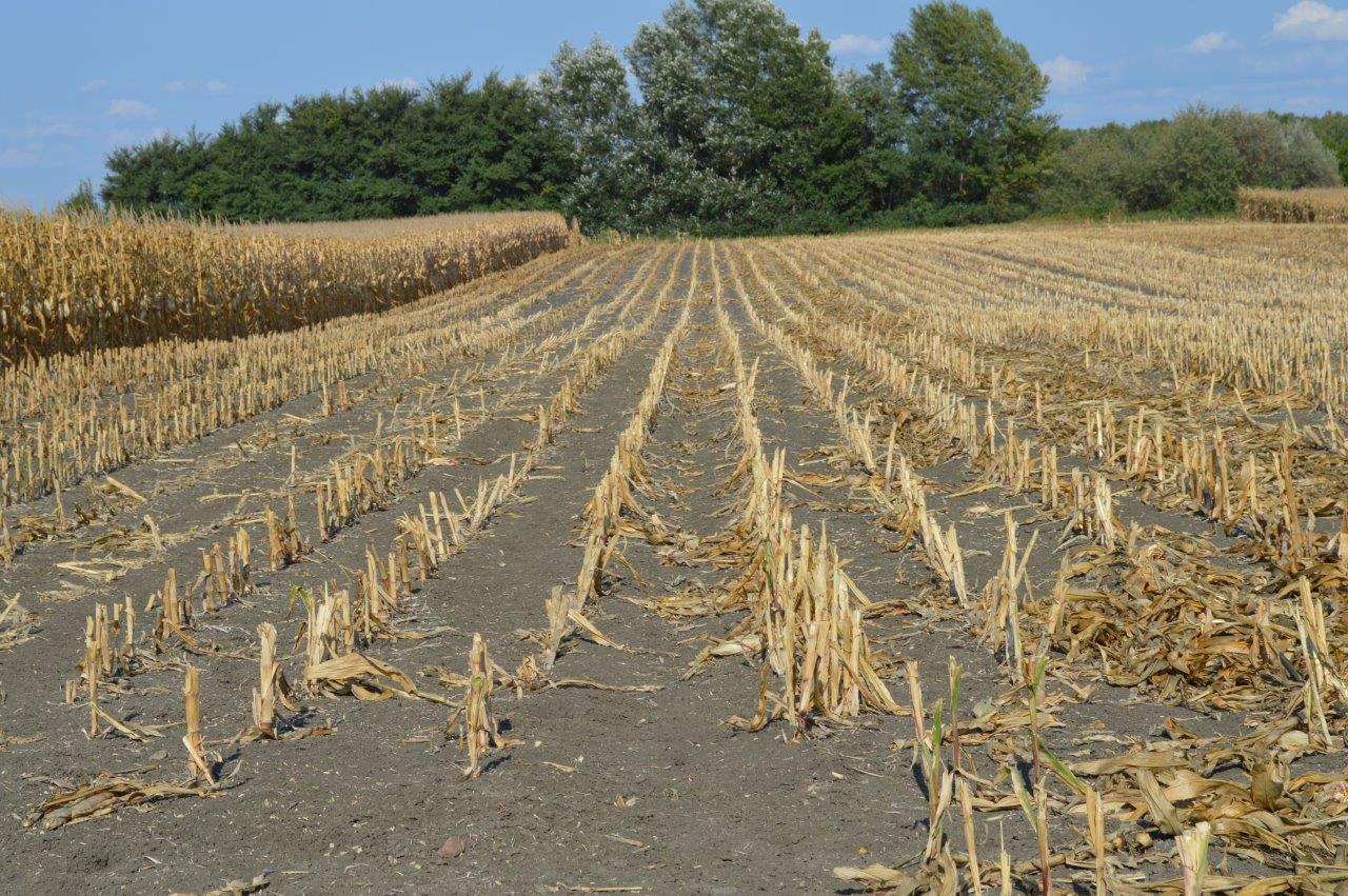 kukoricatábla