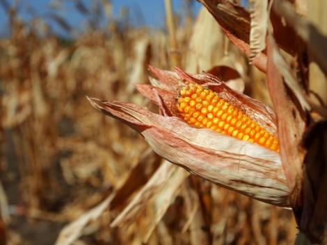 Az aszály óriási terméskiesést okoz Szerbiában