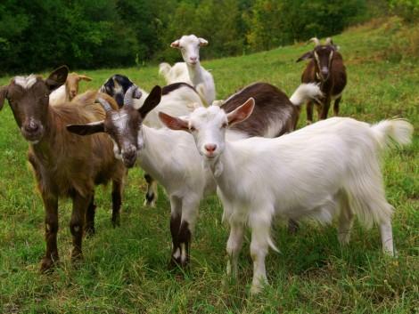 Többé már nem az állattartás mostohagyermeke – növekszik a kereslet a kecsketej iránt