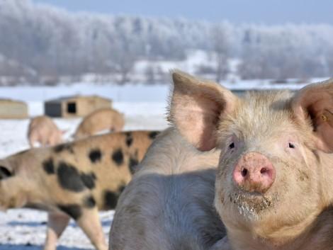 A hidegtűrő sertés lehet a következő lépés az állattenyésztésben