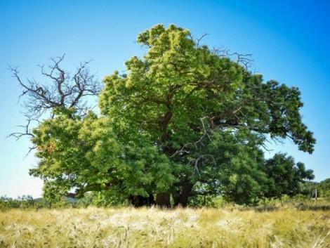 Szelídgesztenye lett a 2017-es év fája