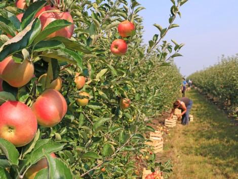 Nagy-Britannia felfedezi ősi almafajtáit