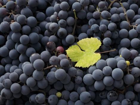 Nyugat-Európában csökkent, Magyarországon nőtt a bortermés