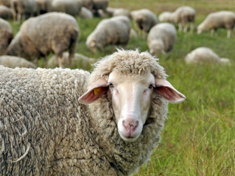 Új piacok felé vette az irányt a magyar bárány