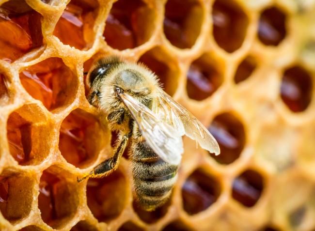 Megtalálhatták a méhpusztulást okozó varroa atka ellenszerét