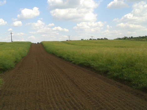 Új államilag elismert őszi káposztarepce-fajták a piacon