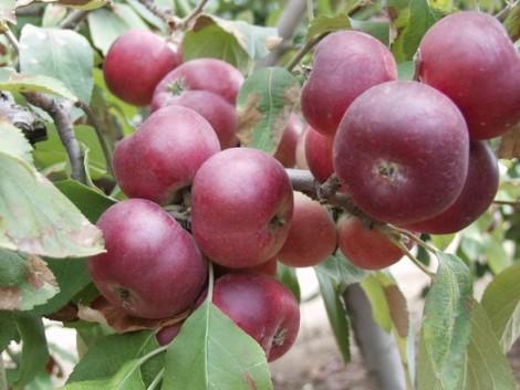 Telepítsen különleges magyar gyümölcsfajtákat!