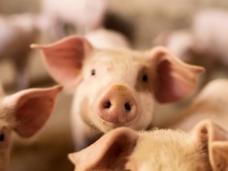 Így alakulnak a sertés állatjóléti támogatások