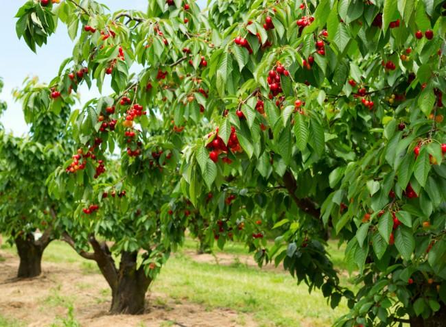 Jó cseresznyetermés várható idén