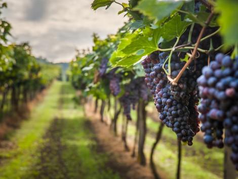 A HNT igyekszik elősegíteni a borszőlőkereslet és -kínálat összehangolását