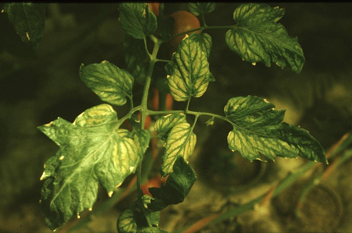 Paprika palánta betegségei