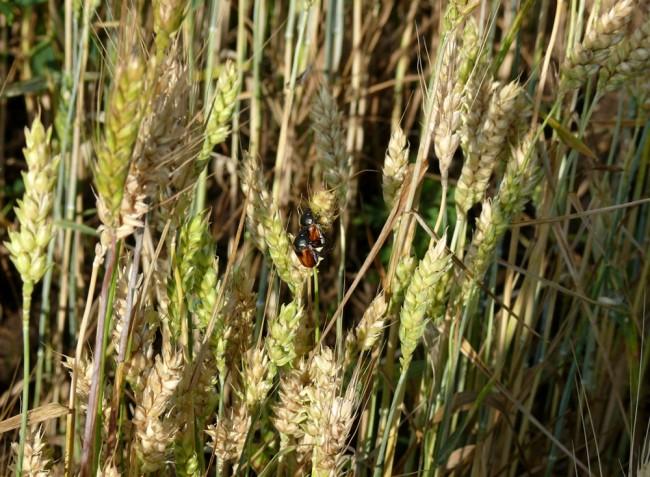 Növényvédelmi előrejelzés: Medárd környéki zivataros időszak, a növényvédelmi helyzet fokozódik!