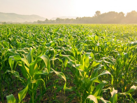 Hogyan alakul a kukorica ára?
