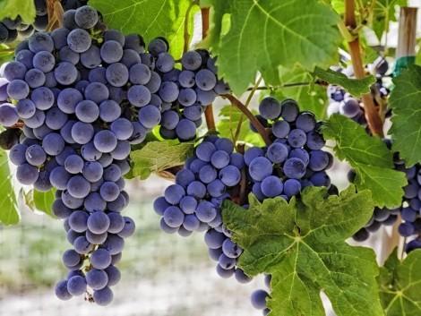 Új pályázatok fognak megnyílni borszőlő telepítésére