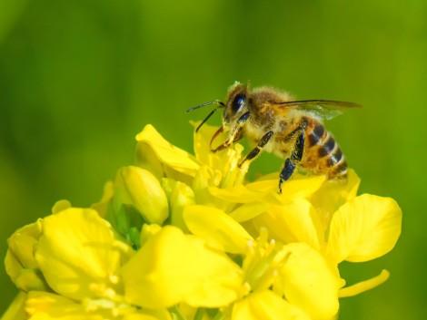 A neonikotinoid növényvédőszer-hatóanyagok teljes betiltása várható