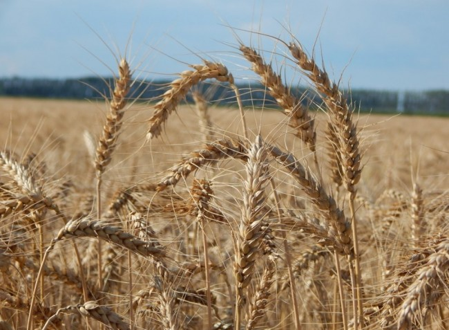 Idén is 60 millió tonnás gabonatermésre számít Ukrajna