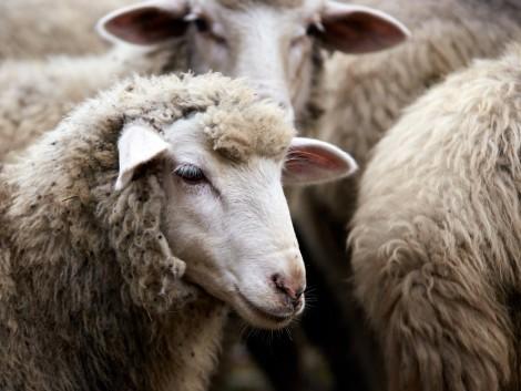 Tovább csökkent a juhállomány, a sertések száma viszont megugrott