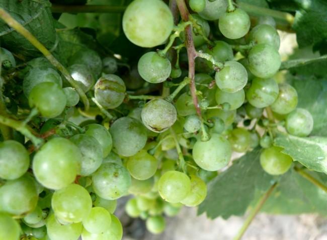 Növényvédelmi előrejelzés: Együtt támadják a gombabetegségek a szőlőt