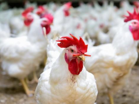 Érkeznek a baromfi és sertés állatjóléti támogatások