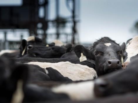 12 év múlva a tejágazat egymilliárd embernek adhat munkát világszerte