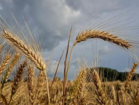 Halad az aratás, de hogyan alakul a terménypiac?