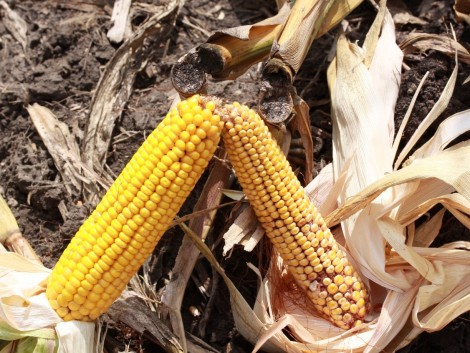 Miért fontos a kukorica molykártevői elleni védekezés?