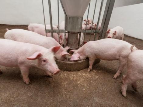 Több országgal is folynak tárgyalások a sertéspestis ügyében
