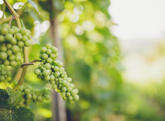 Növényvédelmi előrejelzés: az érésben levő szőlőt egyre több kártevő találja meg