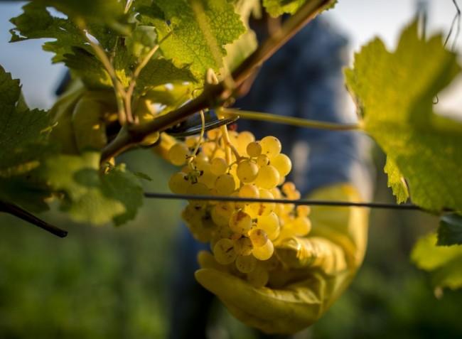 Fókuszban a zöldítés és a szőlőtermés