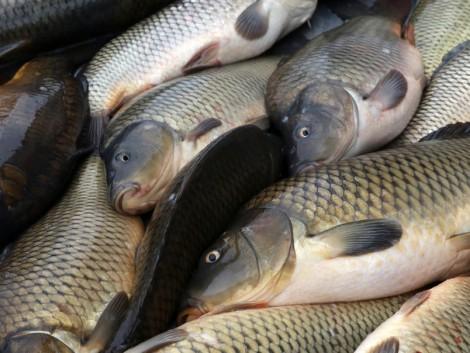 Cél a halgazdálkodás fejlesztése, a hazai haltermelés és halfeldolgozás bővítése