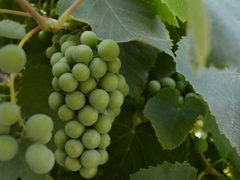 Előrejelzés készült a borszőlő felvásárlási átlagárakról
