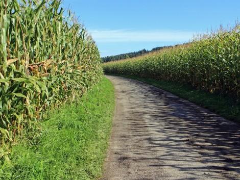 Marad a meleg idő a kukoricatermesztők örömére