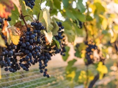Magas hazai szőlő- és borárakat hozhat az európai szárazság