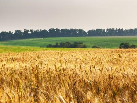 Többrétű védelem a gabonában